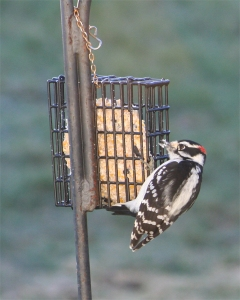 aa-woodpecker
