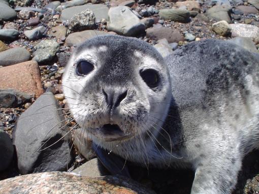 Seal pup1