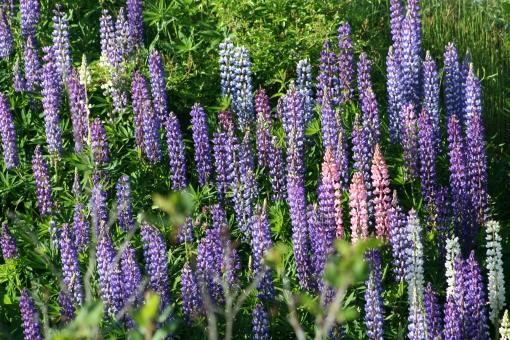 Lupins 1