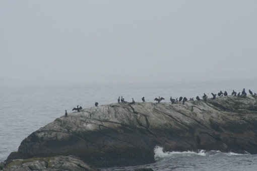 Cormorants 1