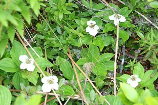 Dogwood blossom
