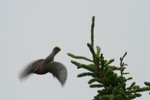 Waxwing flying