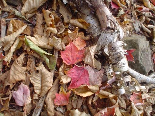 c leaves